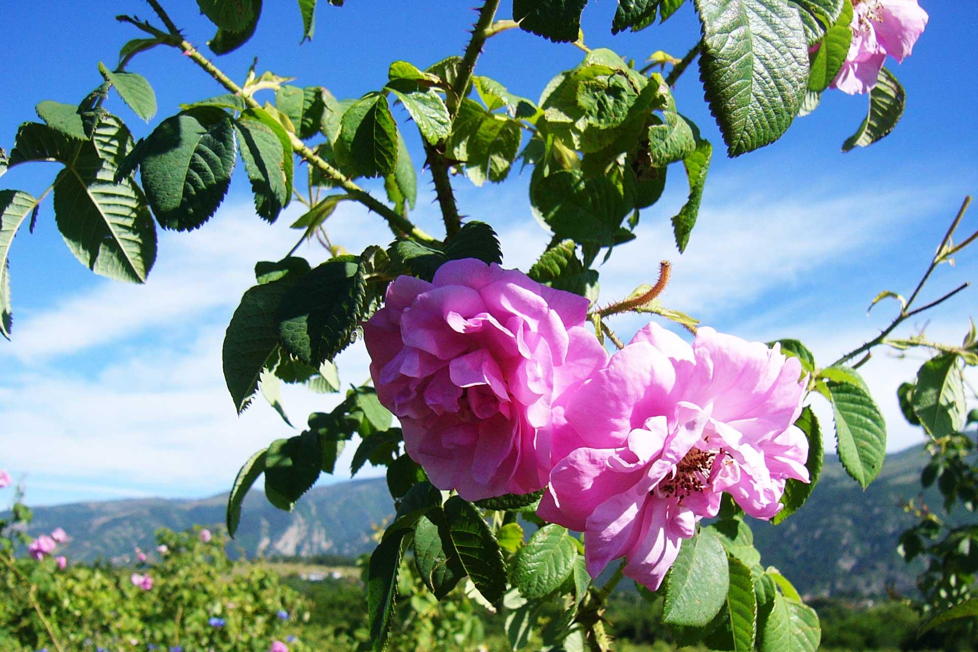 Розовата долина
